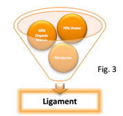 ligament_education_personal_training_school_proper_leg_lift